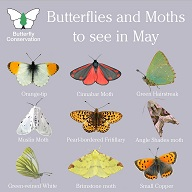 Butterflies and Moths to see in May